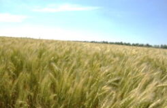 Ученые рекомендуют «Озимая пшеница – особенности года»