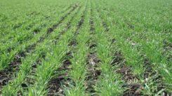 Главная озимая культура – озимая пшеница