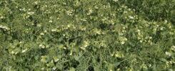 Разработка приемов интенсификации производства растительного белка на основе мобилизации генетических ресурсов гороха и совершенствования элементов технологии возделывания, направленных на реализацию высокого потенциала урожайности и качества