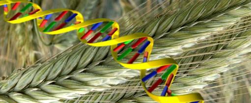 Расшифровать геном ржи – дать мощный импульс для развития селекции